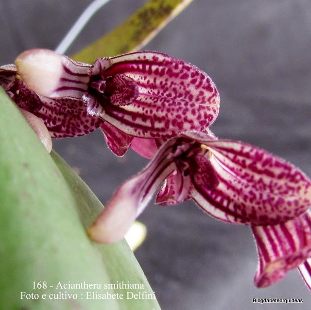 Pleurothallis smithiana