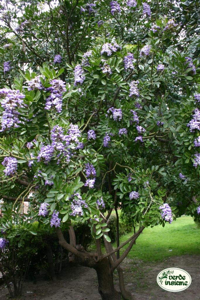 Sophora secundiflora fiori dal profumo stordente for Piante ad alberello