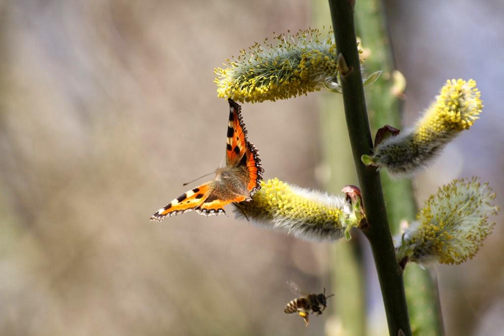 Schmetterling an Kätzchen