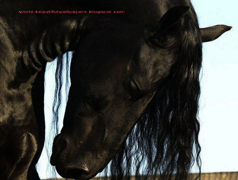 Friesian Horse Pictures Friesian Horse Pictures