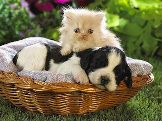 kitten and puppy hd wallpaper