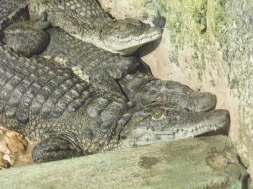 صور تمساح نيلى بحديقة الحيوان الاسكندرية