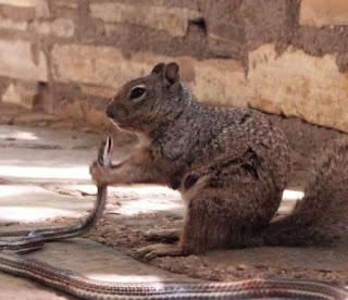 http://www.upi.com/Odd_News/2015/07/10/Squirrel-eats-snake-at-Texas-national-park/1001436553118/?spt=sec&or=on