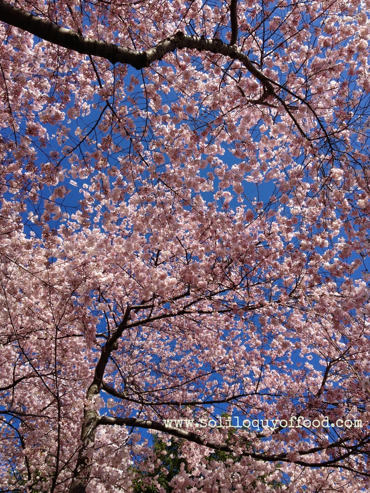 Cherry Blossoms 2014 - www.soliloquyoffood.com