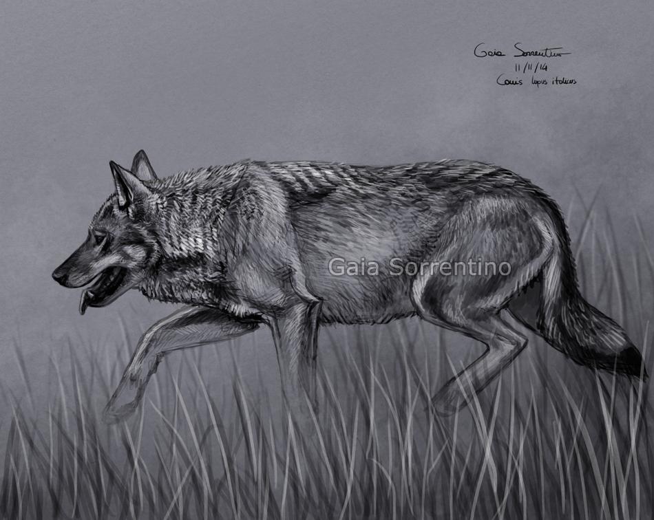 Gaia sorrentino disegnatrice naturalista novembre 2014 for Lupo disegno a matita