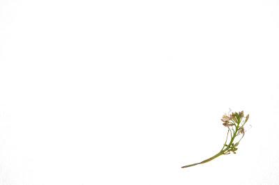 radish-flower-simple