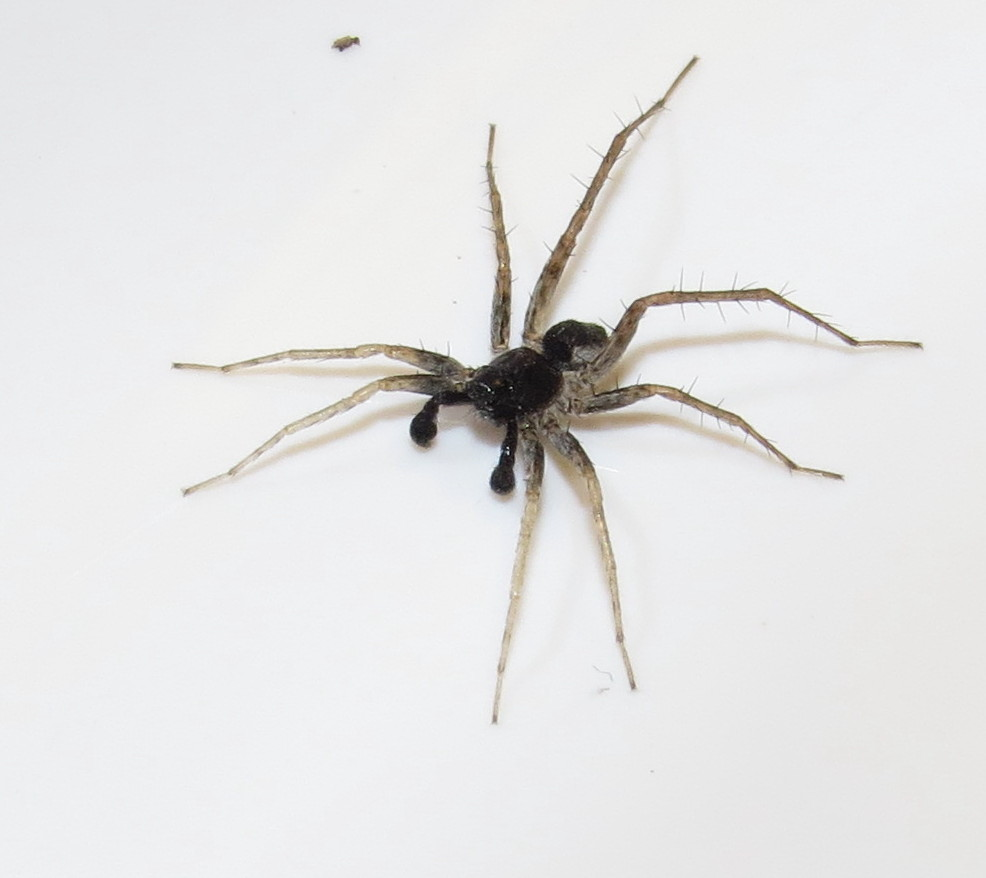 north spider Hairy american