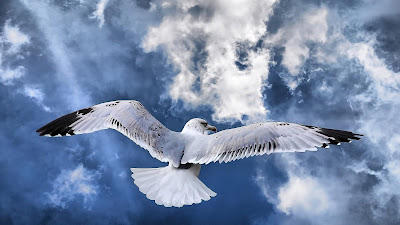 Animal Wallpaper, Bird Wallpaper, Seagul Bird, Seagul Wallpaper, Blue Sky, Flying Bird Wallpaper