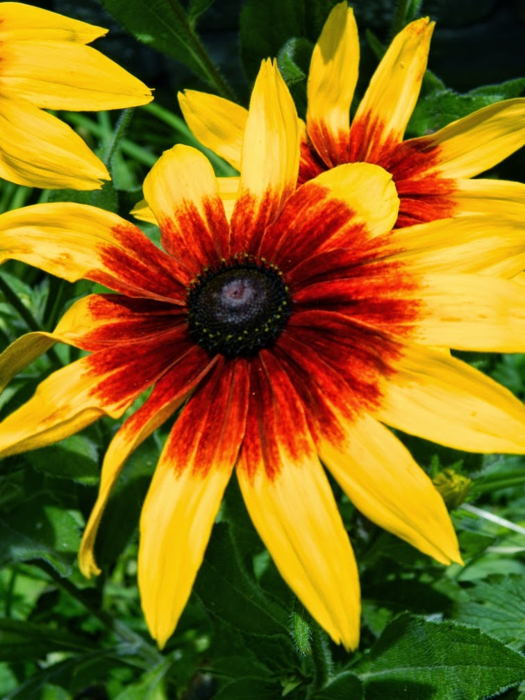 Gloriosa daisy Rudbeckia hirta by garden muses-not another Toronto gardening blog