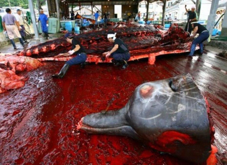 Rastro portuario de mamíferos marinos (Delfines, ballenas, cachalotes, rorcuales, etc etc.) Japón.