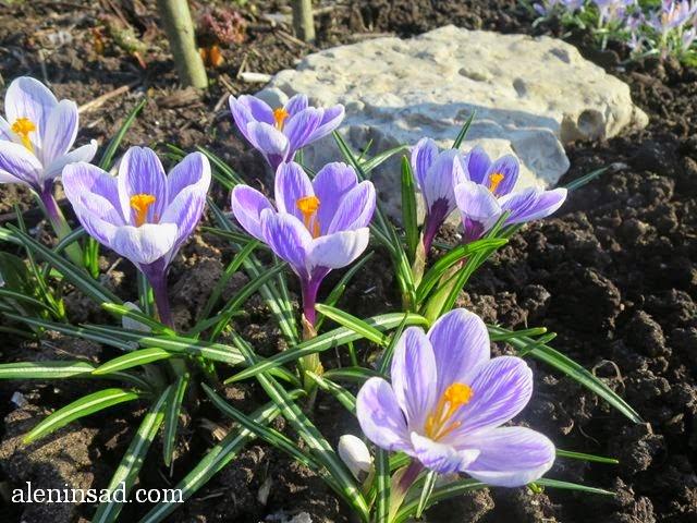 """крокус, сорт """"Piсkwiсk"""", пиквик, Crocus sativus, аленин сад, апрель в саду, цветы в апреле,"""