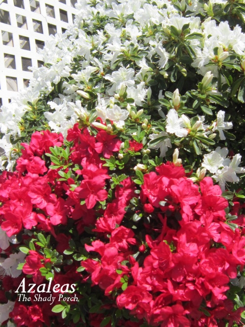 Azaleas at The Shady Porch