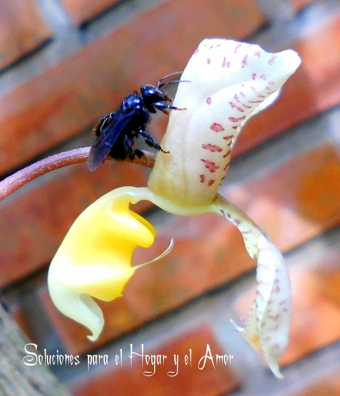 Avispa, Orquídea