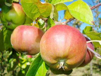 Agroshop valladolid cuellar plantar frutales cu ndo y - Cuando plantar frutales ...