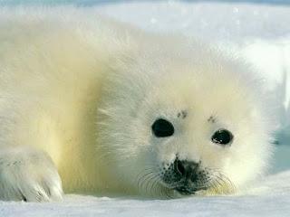 Foto Bayi Beruang Kutub Menggemaskan