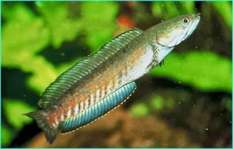 gabus - Jenis Ikan Air Tawar Di Indonesia