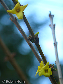 Forsythia Branch starting to Bloom