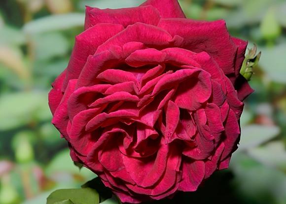 Gospel rose сорт розы фото