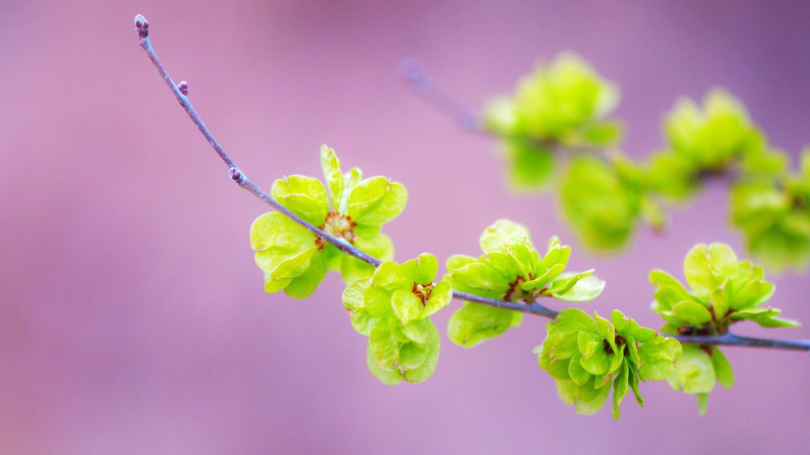 hinh-nen-hd-dep-cho-may-tinh-hoa-mai-small_green_flowers-wallpaper-2560x1440