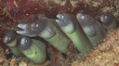 Moray_family_worried-fish_underwater