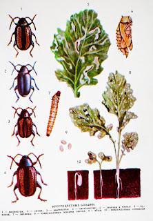 Вредители овощей - крестоцветные блошки