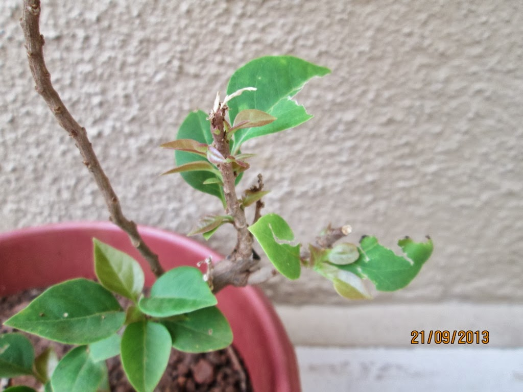 Design Green India Best Tips For Growing Bougainvillea In Pot
