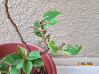 New growth on bougainvillea during monsoon