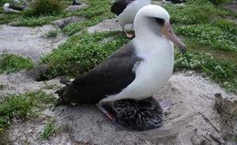 Albatros Wisdom