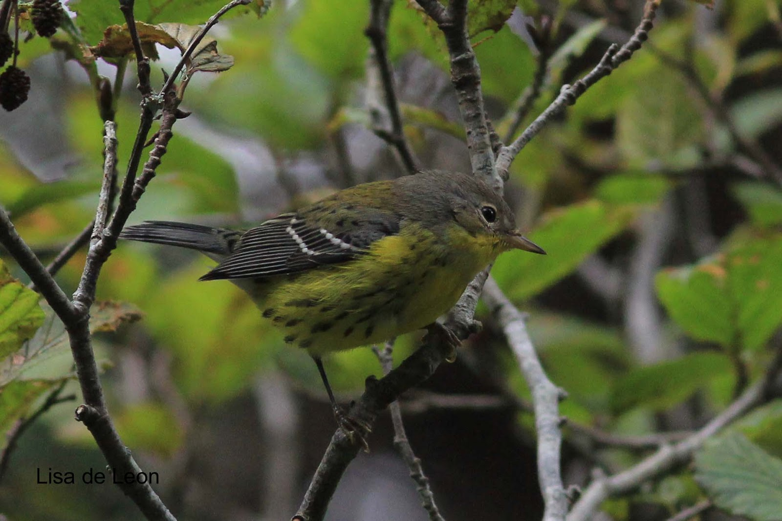 magnolia warbler fall - photo #19