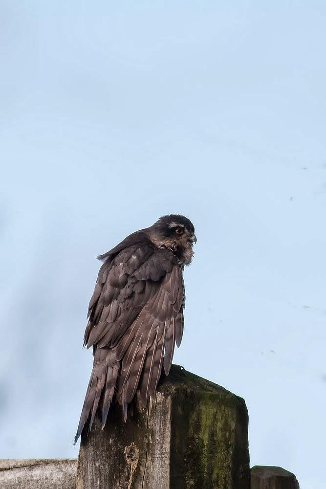 Female Sparrowhawk, looking huge! Lodge Lake, Milton Keynes