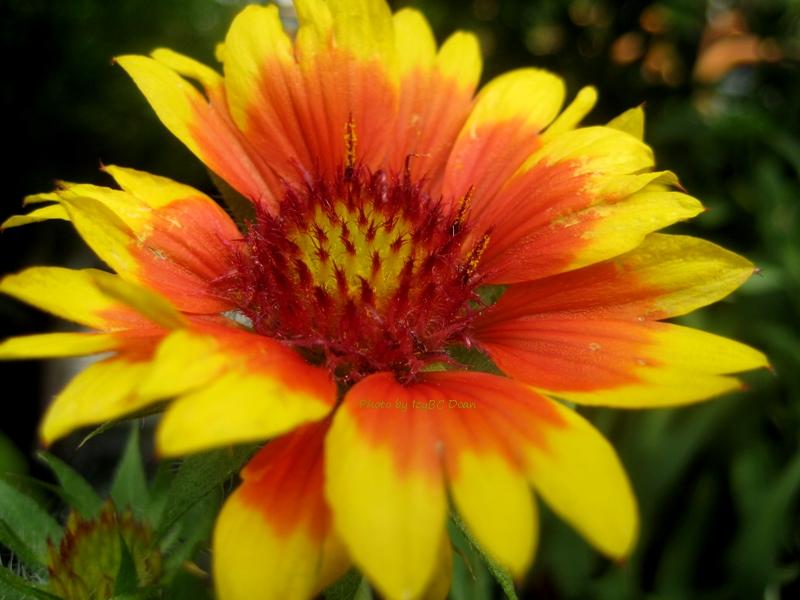 Yellow Blanket Flower