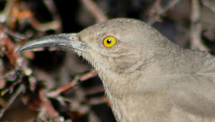 Yellow-Eyed Thrasher--juvenile or Bendires?