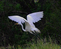 Egret at Peter Strauss Ranch