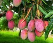 buah mangga, manfaat buah mangga, budidaya jamur, sejarah mangga, sejarah buah mangga, jenis jenis buah mangga, asal usul buah mangga;