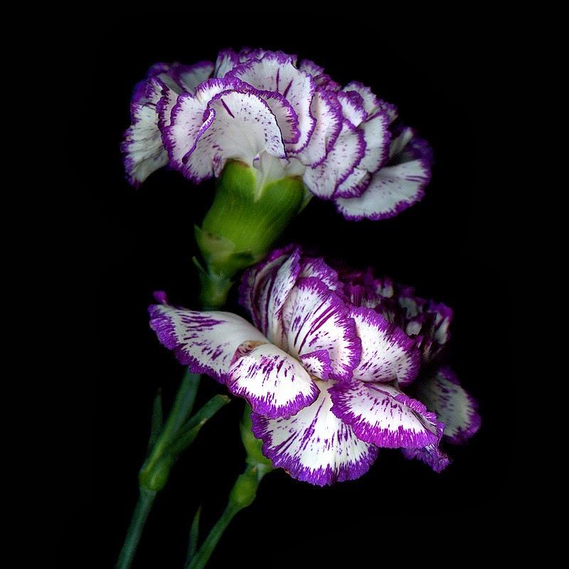 Claveles Florespedia com