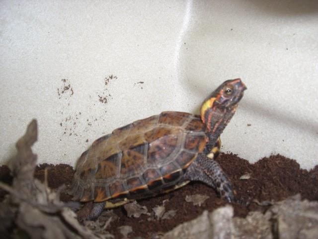 Geoemyda japonica - Ryukyu black-breasted leaf turtle
