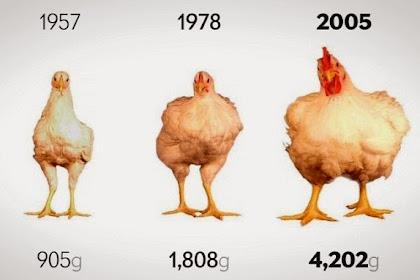 Ukuran Ayam dari Tahun ke Tahun Semakin Besar