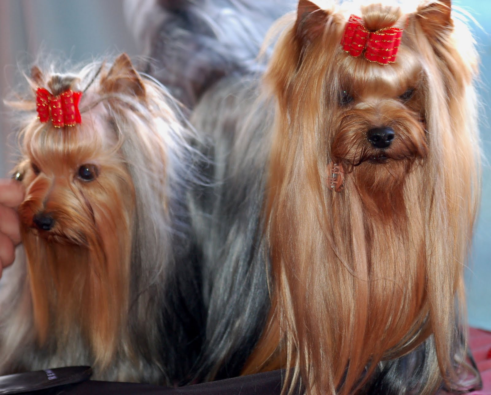 Long Haired Yorkshire Terrier Puppies Free Download Wallpaper