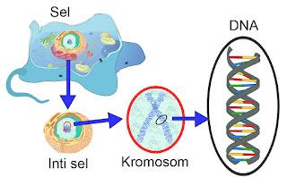 4 Fungsi Kromosom