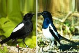 Burung Kacer Poci Info Tentang Habitatnya Di Daerah-Daerah Tertentu