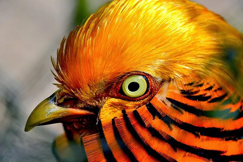 Fotos - Bilder - Tiere - Vögel - Vogelfotos - Goldfasan