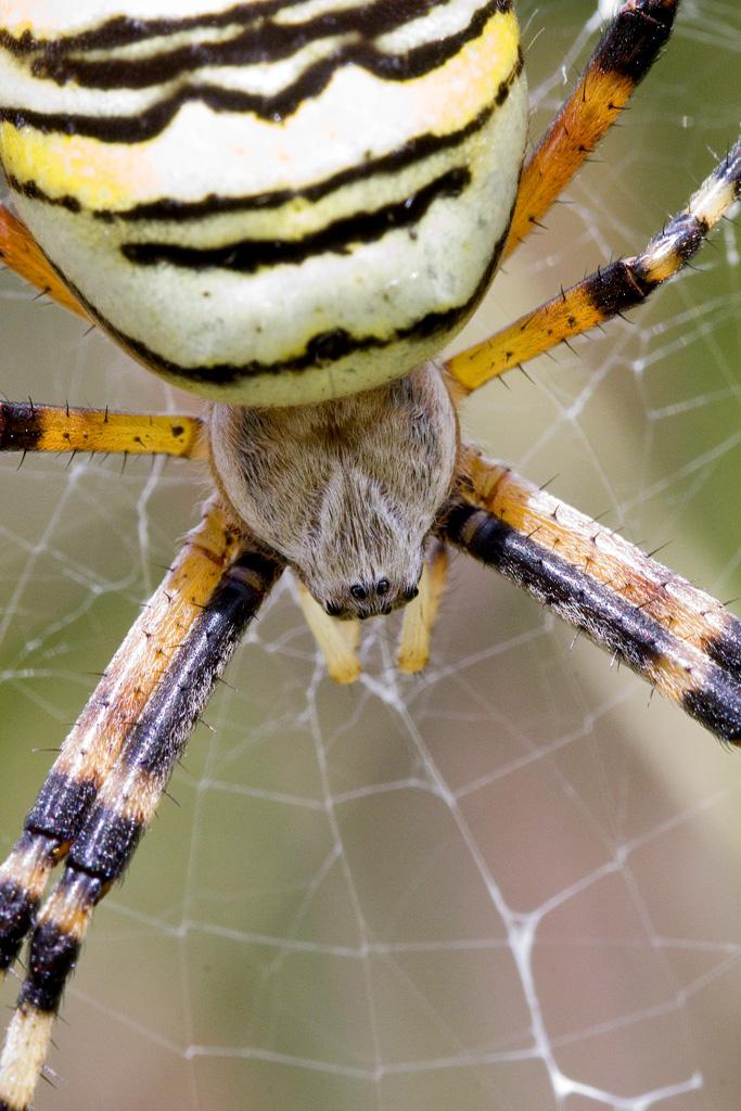 Para ampliar Argiope bruennichi (Scopoli, 1772) Araña tigre, cestera (detalle) hacer clic