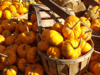 Baby pumpkins 1