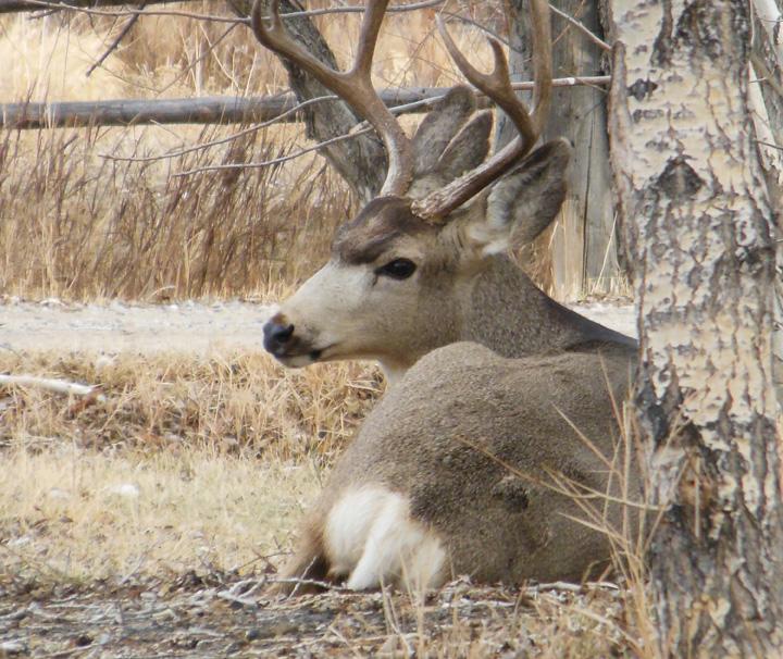Sandy Scott Art 445 In The Field And In The Studio Mule Deer