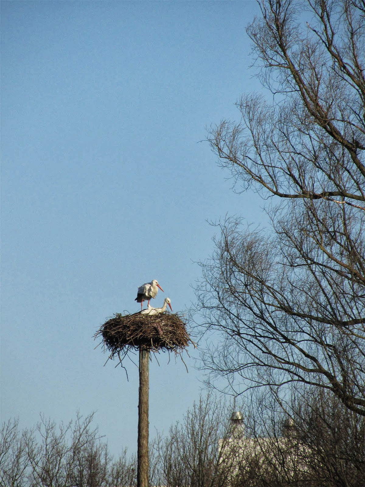 A pair of storks in the Vondelpark, Amsterdam