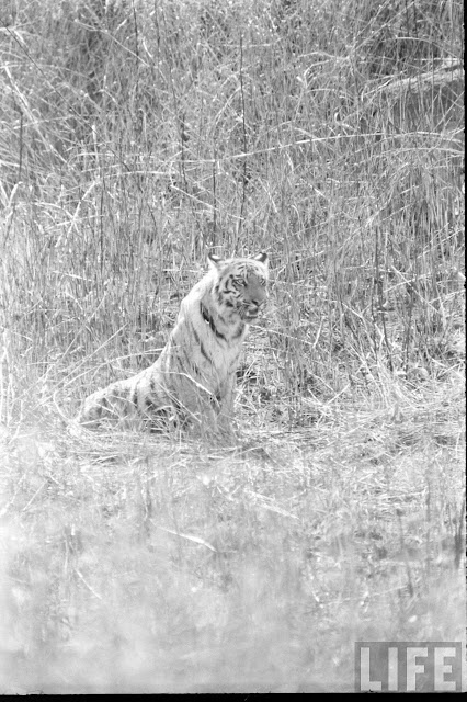 Tiger+Hunting+Photographs+of+India+-+1965+%252819%2529