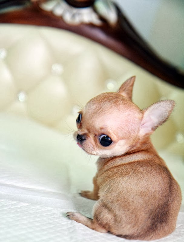10 Interesting Facts about Chihuahua - Annie Many