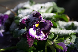 Frosted Pansy