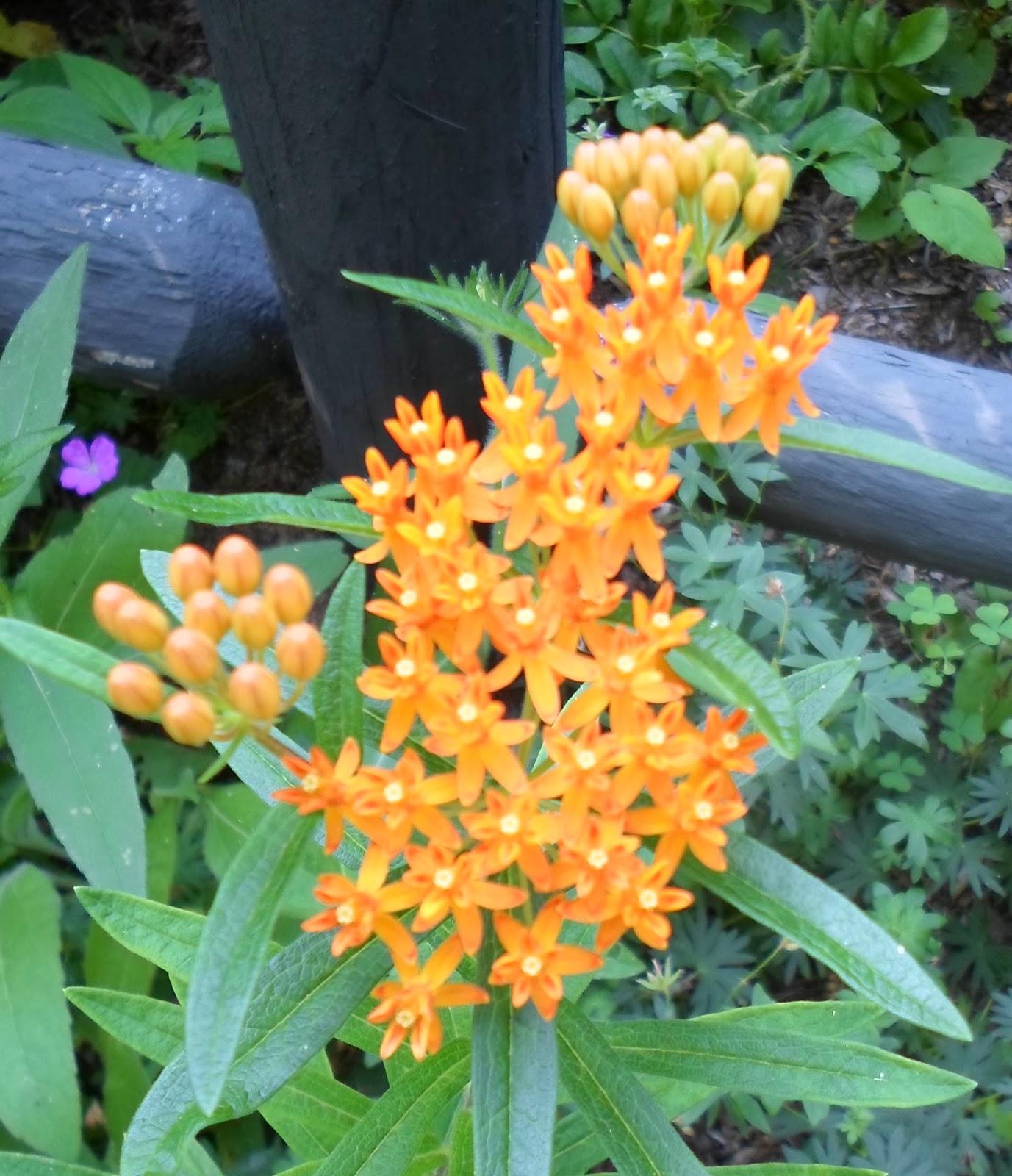The Monarch Gardener Monarch Waystation Plant List