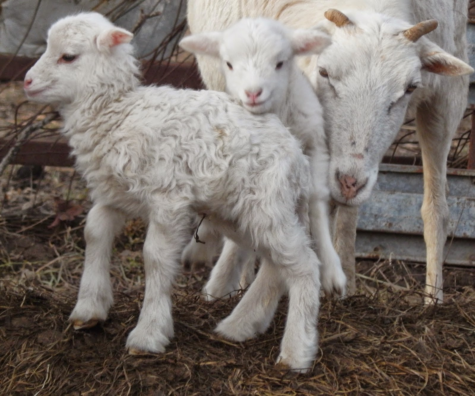 Lambs: A Dose of Cuteness, shared by Clearwater Farm